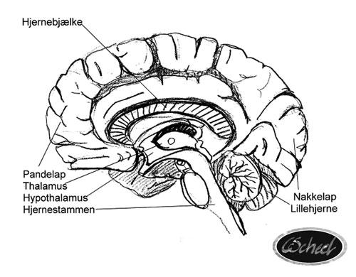 hjernens dele
